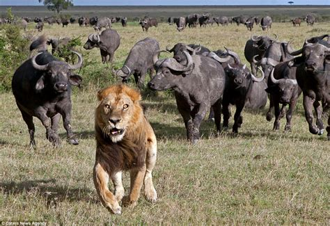 Terrified lion runs for its life after a herd of buffalo