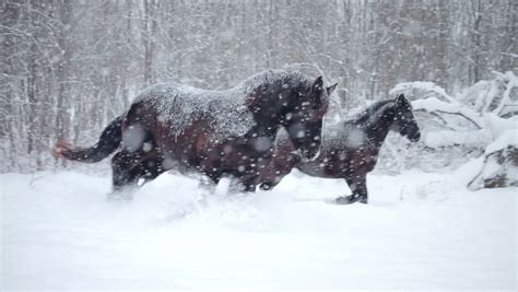 Horses Outdoor During A Cold Winter Blizzard Stock Footage