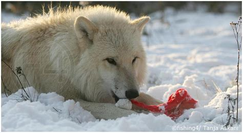 White Wolf : Toy Thief: Arctic Wolf Steals Santa Hat And