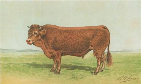 Limousin (Rind)